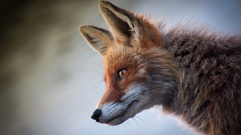 Comment piéger un renard dans une cage humainement?